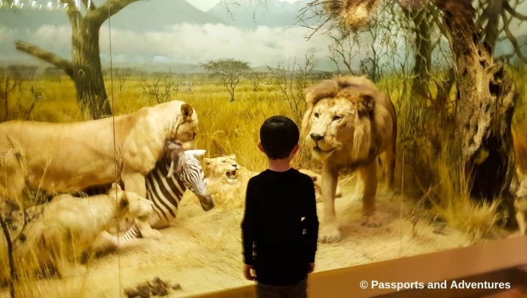 Boy enjoying an African display of lions at the Natural History Museum in Helsinki