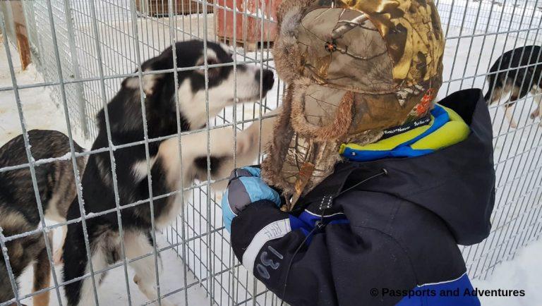 Family Adventure On A Bearhill Husky Safari - Boy saying hello to husky dogs