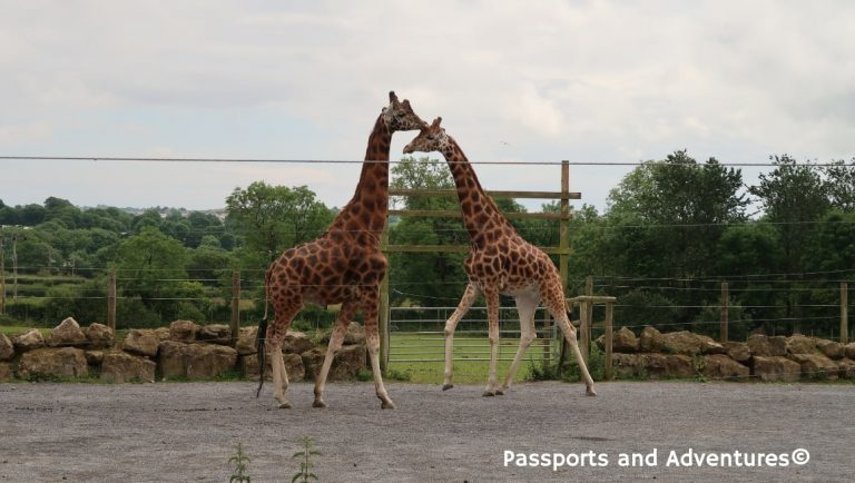 Two giraffes at Folly Farm Zoo