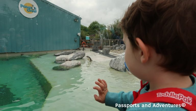 Little boy watching the penguins at Folly Farm Zoo