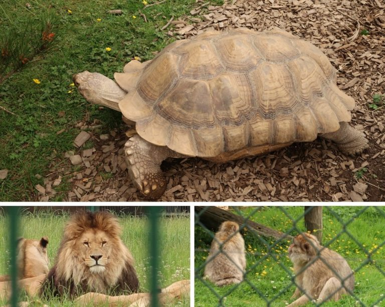 Tortoise, Lions and Monkeys at Folly Farm Zoo