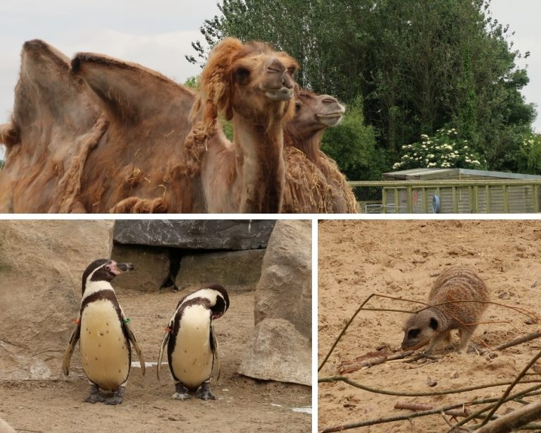 Camels, Meerkats and Penguins at Folly Farm Zoo