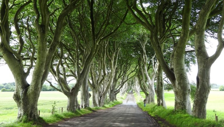 The Dark Hedges, Antrim, with a lone walker in the background.