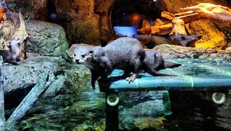 An otter at the Bangkok Sea Life Aquarium