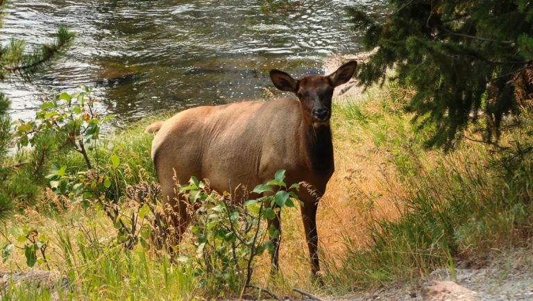 An Elf standing on the banks of the Madison River of Yellowstone National Park