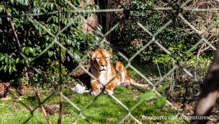 A lioness basking in the sunshine in Dublin Zoo, Ireland, one of the best things to do in Dublin with kids