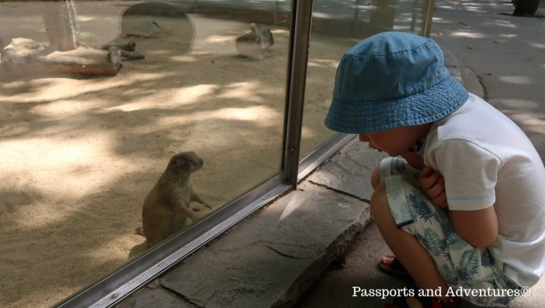 A young boy saying hi to a meerkat in Barcelona Zoo