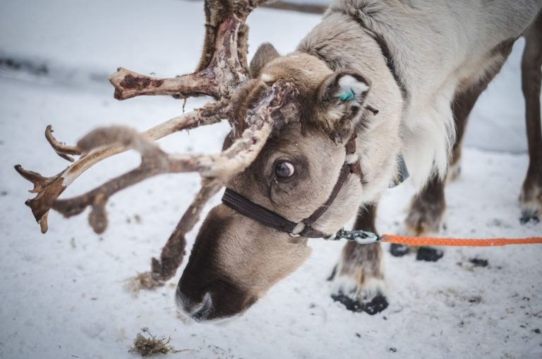 A reindeer in the snow in Lapland