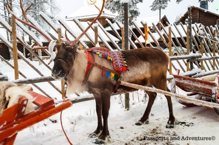 One of Santa's Reindeer at the Santa Claus Village, Lapland