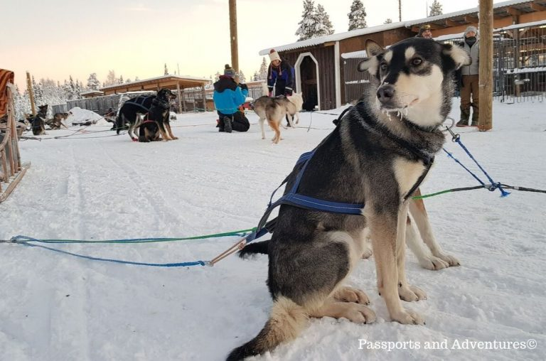 A husky dog ready to pull a sled in Lapland