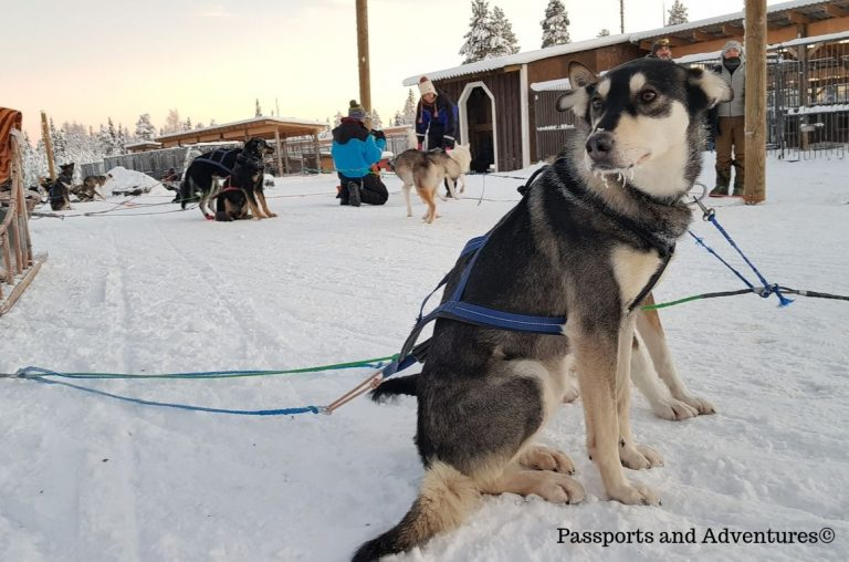 A husky dog sitting in the snow in Lapland