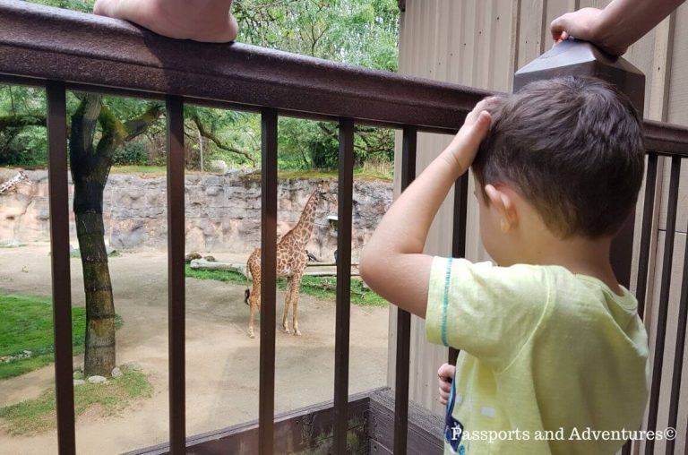 A little boy viewing the giraffes in the Portland Zoo