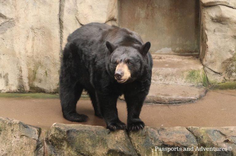 A black bear at the Oregon Zoo