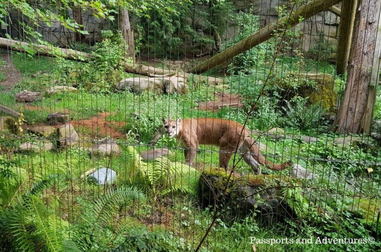 A cougar inside its enclosure at the Portland Zoo, Oregon