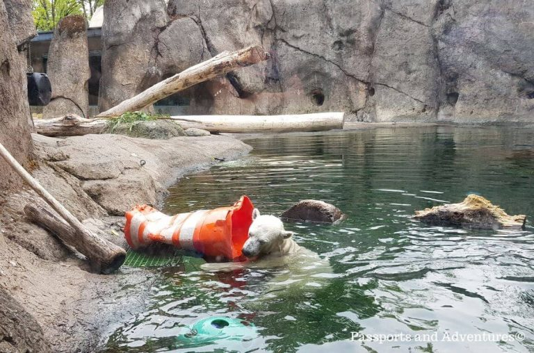 A polar bear swimming and playing with a traffic cone at the Oregon Zoo