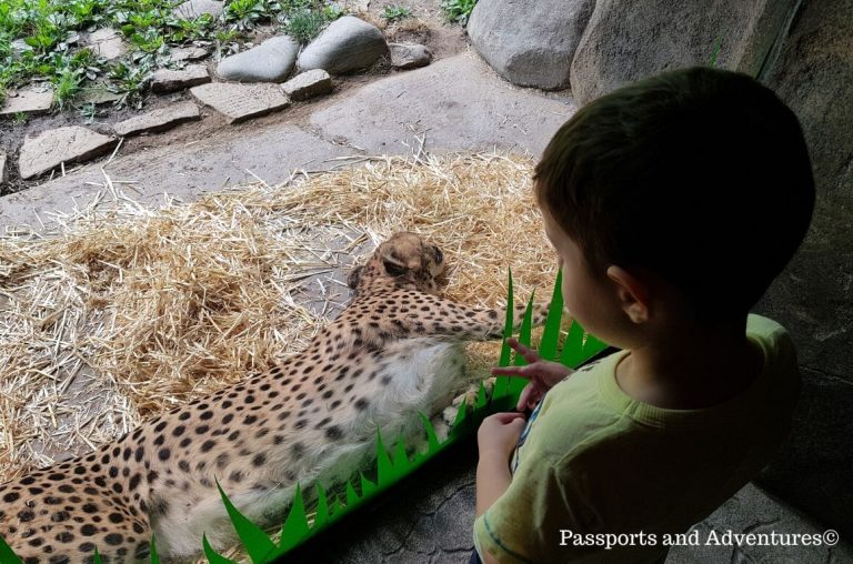 A little boy looking at a sleeping cheetah in its enclosure at the Oregon Zoo
