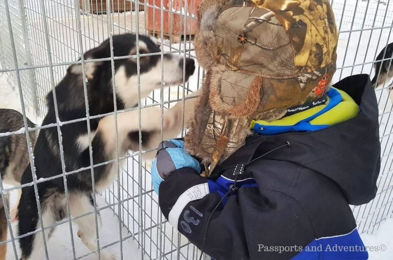 A little boy in a snowsuit and trapper fur hat saying hello to a husky pup in Lapland