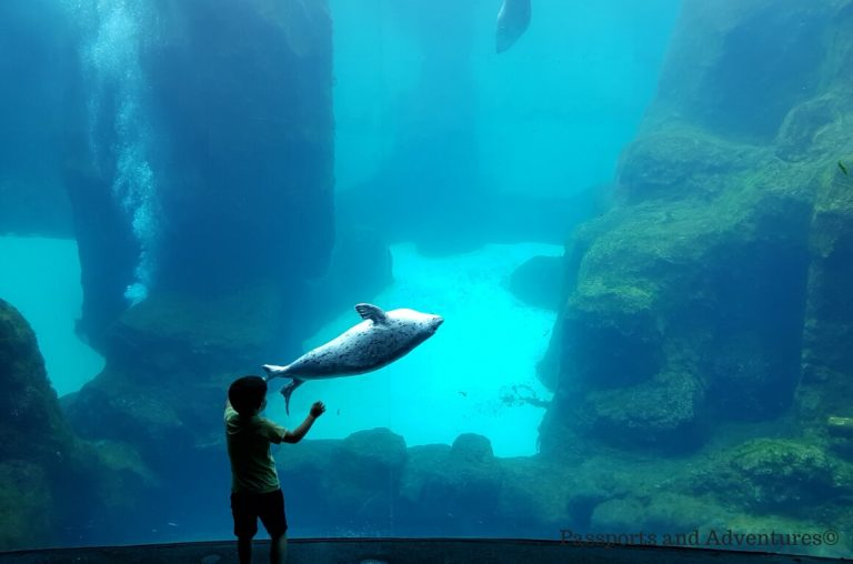 A little boy enjoying the playful sealions in their tank at the Oregon Zoo in Portland