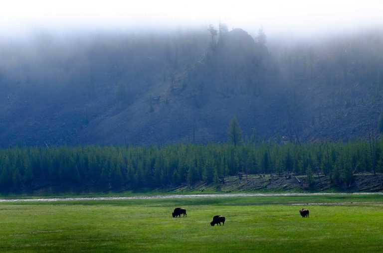 A picture of bison on a plain in Yellowstone with rain falling from a cloud mist above and mountains in the background