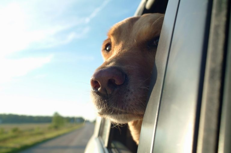A dog sticking its nose out of a car window