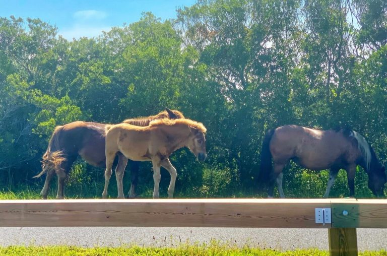A picture of three horses walking at a tree line in the Assateague National Seashore