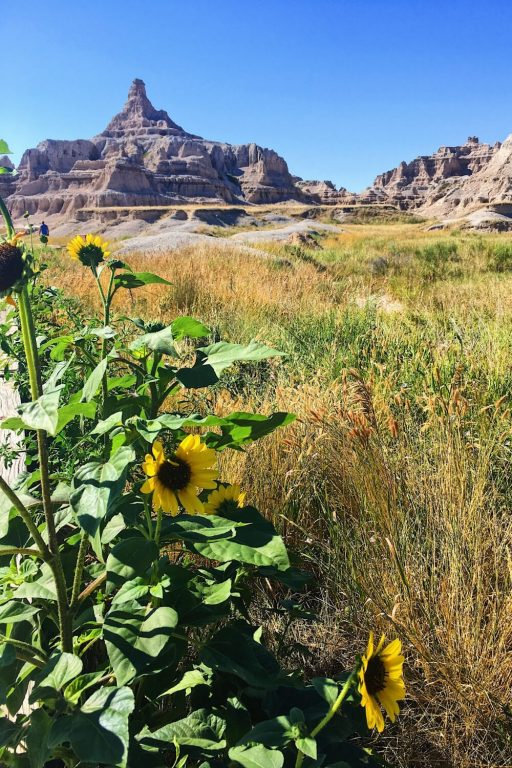 A picture of sunflowers in the foreground, a grassy plain and hills in the backgrounds in Badlands National Park