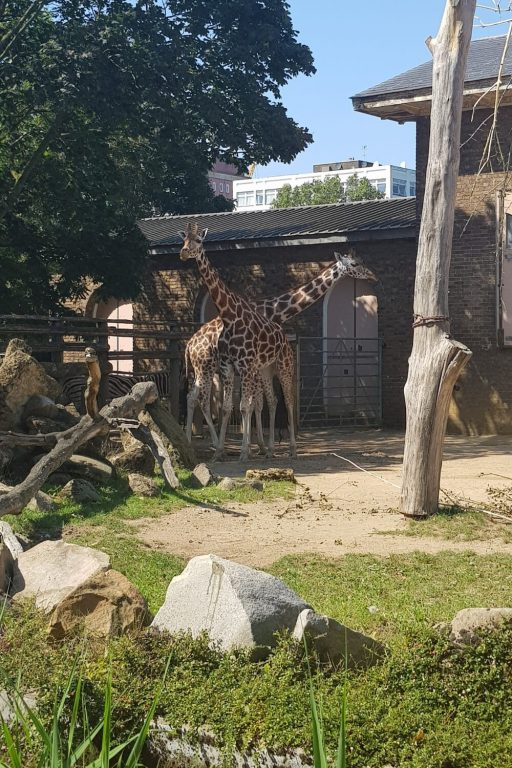 A picture of giraffes in an enclosure at London Zoo.