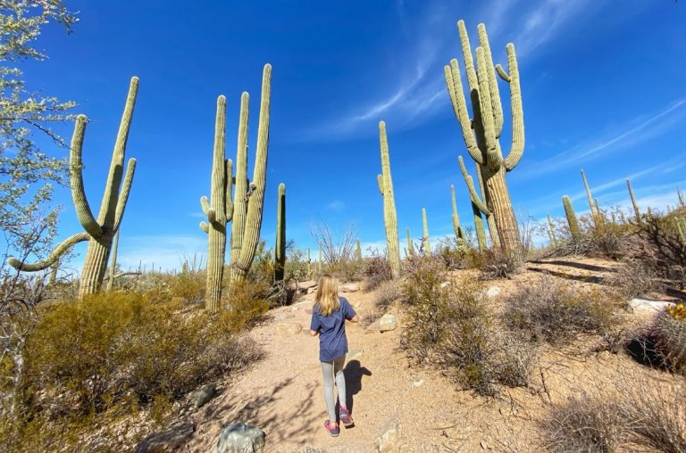 A young girl walking on a path in the Saguaro National Park with tall cacti around her