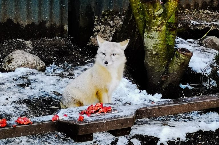 A picture of a white fox in the Five Sisters Zoo in Scotland