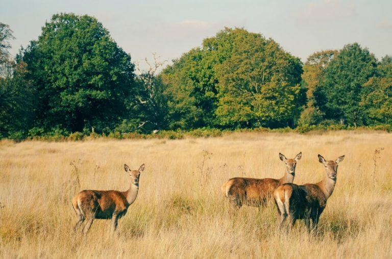 A picture of three deer in Richmond Park, London