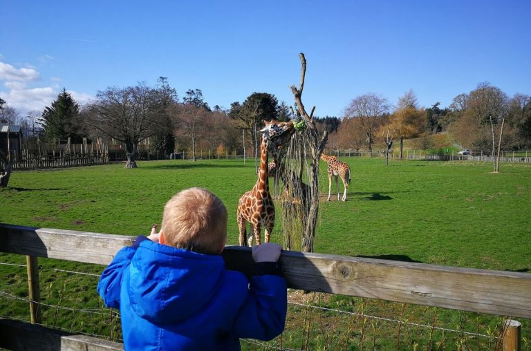 A picture of a young boy in a blue coat looking at giraffes