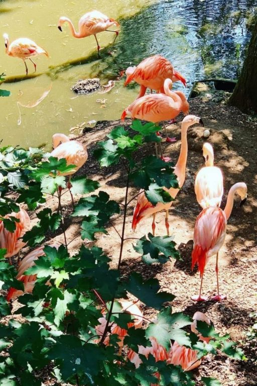 A picture of pink flamingoes at Colchester Zoo