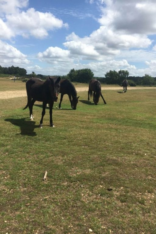 A picture of four dark brown Rockford Common Ponies