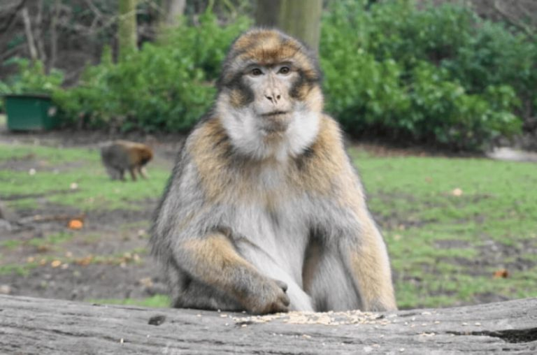 A picture of a monkey sitting on a log at the Trentham Monkey Forest